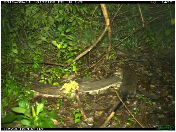 Hydromys chrysogaster Water rat
