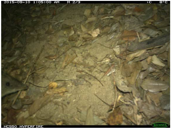Isoodon macrouus, Northern brown bandicoot